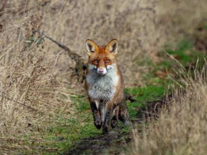 Fuchsrüde