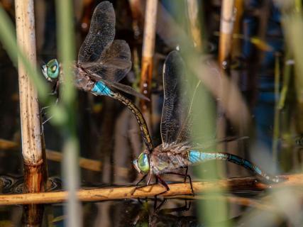 Libellenpaar