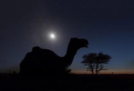 Camel in the night