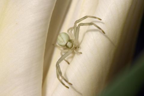 Weiße Spinne auf weißer Tulpe