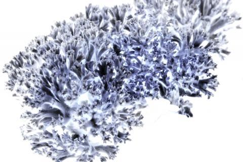Buchen-Koralle