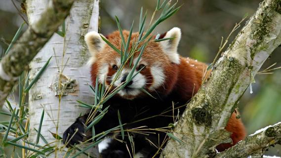 Leckerbissen für klein Pandas