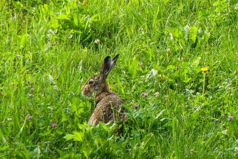 Hoppel im Gras