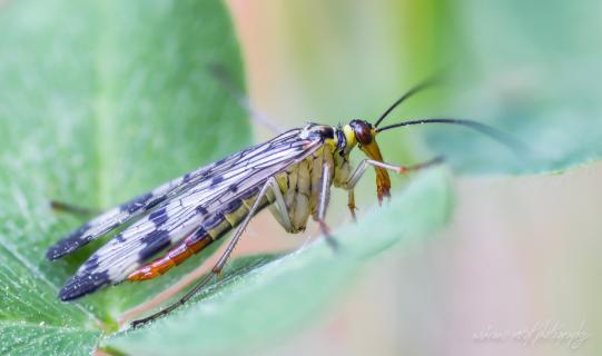 Skorpionsfliege (Panorpa germanica)