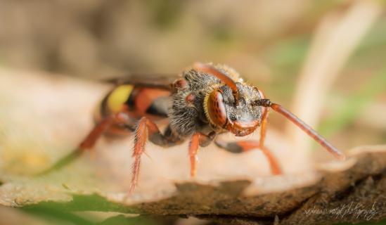 Wespenbienen (Nomada)