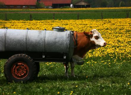 IMG 1302 a Kuh mit Rädern