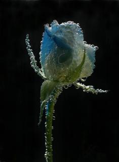 Wasser Rose