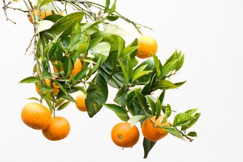 Natur_Orangen_Wiedemeyer_Angelika_1