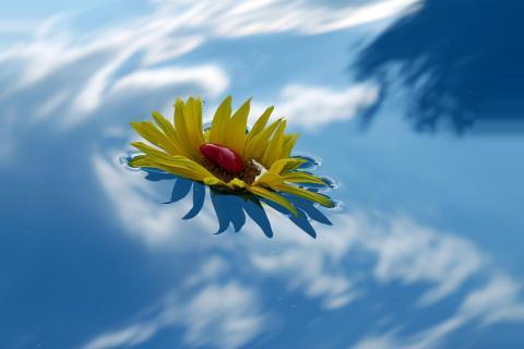 Sonnenblume beim Schwimmen