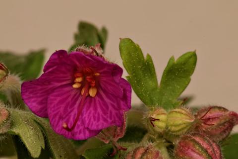Blüte Felsenstorchschnabel