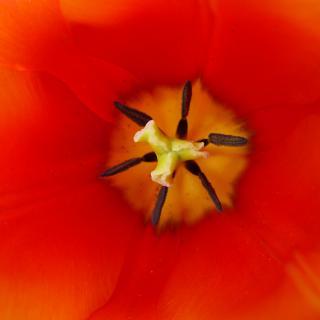 Mohn ist auch eine Blume