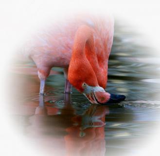 Flamingos Spiegelbild