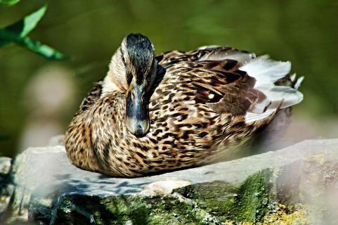 Ente beim Ausruhen