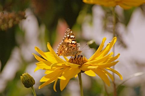Butterfly on a blossom