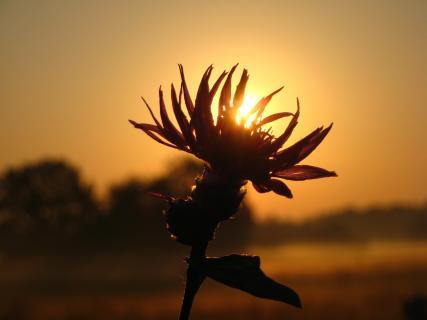 Blume bei Sonnenaufgang