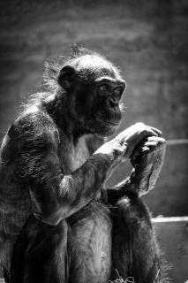 Bonobo Lady