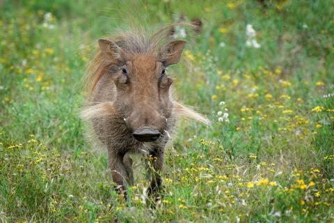 Warzenschwein und Wildblumen