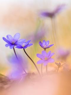 Tanzende Leberblümchen