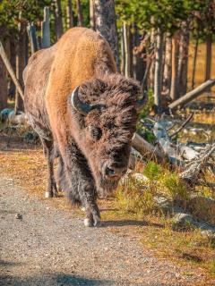 Bison im Anmarsch