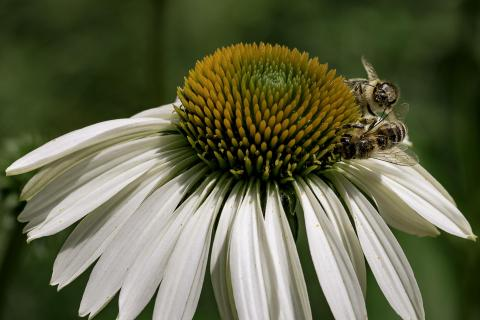 Bienen beim Necktar sammeln