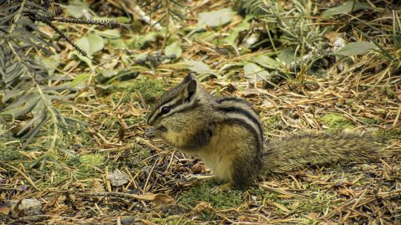 Streifenhörnchen beim Mampfen