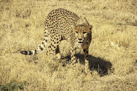 Gepardin auf Pirsch