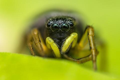 Heliophanus cf. cupreus Weibchen
