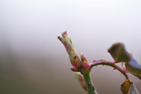 Frühlingserwachen Rose