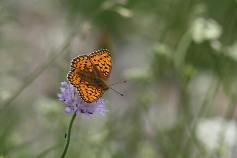 Kaisermatel auf Blüte