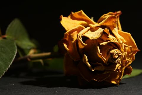verwelkte Rose