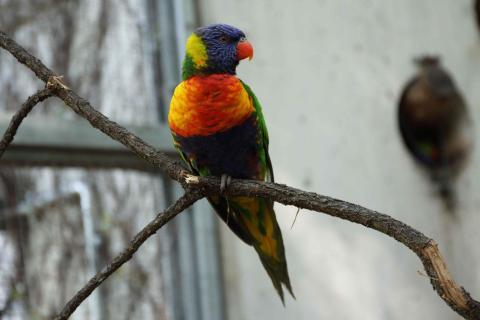 24_Rot, blau und gelb: Farbenfroher Vogel