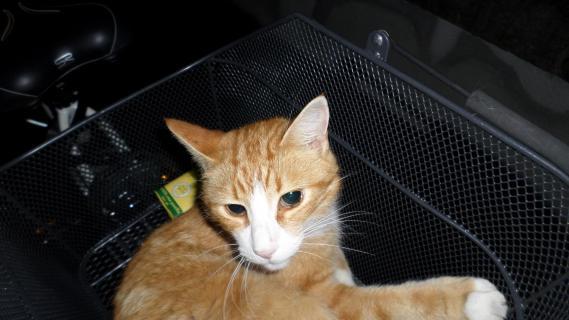 Katze im Velokörbchen