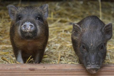 Hängebauchschweine im Stall