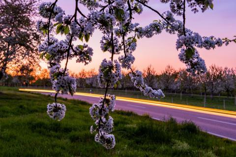 Abendverkehr unterm blühendem Kirschbaum