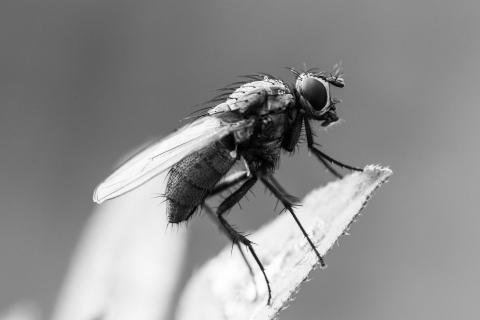 Fliege SW