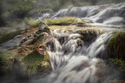 Ente am Wasser