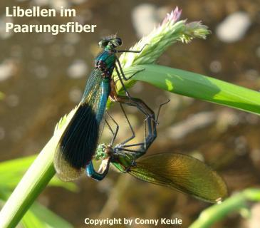 Libellen im Paarungsfiber