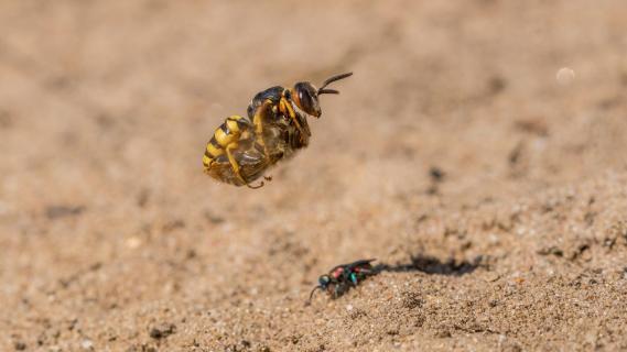 Landeanflug vom Bienenwolf mit Beute