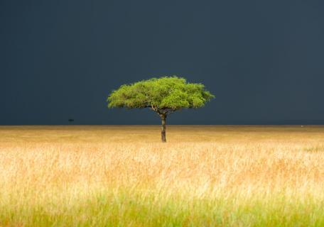 Masai Mara Baum