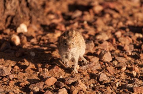 Speedy Kalahari Mouse