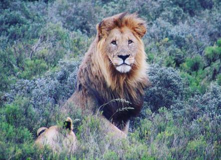 King of the bush