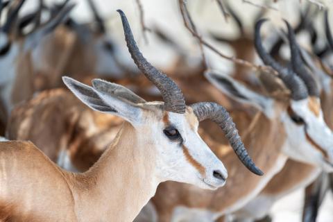 TOP Namibia 2019 Springbock schräg