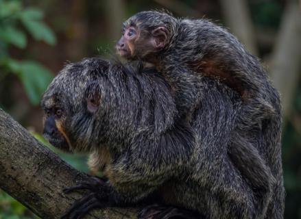 Affen Mutter und Kind