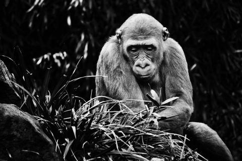 Gorilla auf Futtersuche
