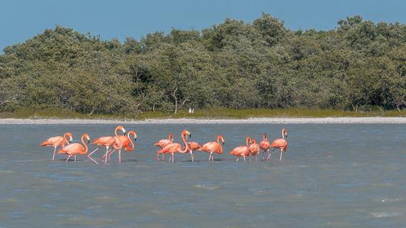 Cuba Flamingos