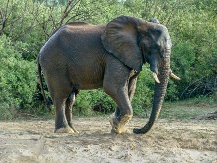 stampfender Elefant
