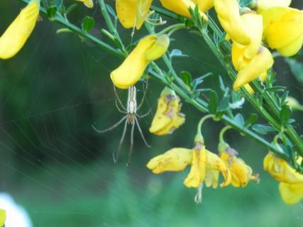 Ginster mit Spinne