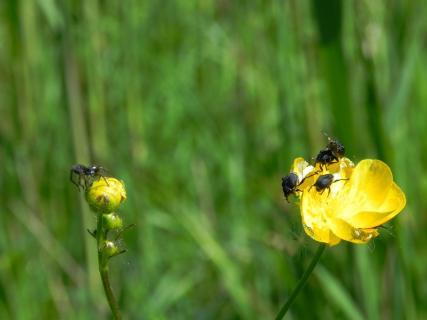 Spinne und Käfer auf Butterblume