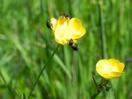 Käfer auf Butterblume