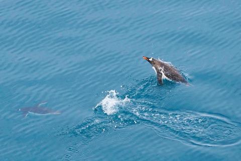 Pinguinrennen